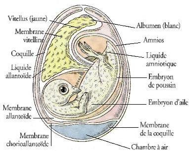 Appellation et termes d'un embryon