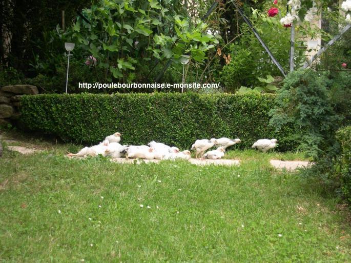 Bain de soleil d'un petit troupeau de poulets bourbonnais sur pâture