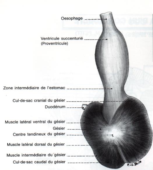 Conformation extérieure du ventricule succenturie et du gésier de la poule