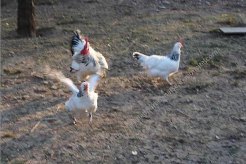 Coq poursuisant une poule pour s'accoupler
