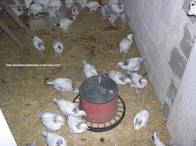 Jeunes poulets bourbonnais 6 semaines marqués afin de les différencier