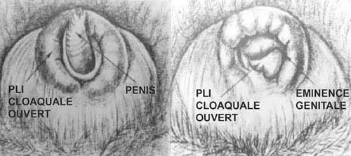 Le pénis et éminence génitale