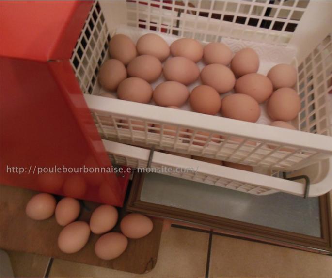 Les oeufs sont mirés ceux contenant un embryon place s dans les paniers d e closion les oeufs clairs e carte s