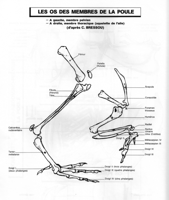 Les os des membres de la poule