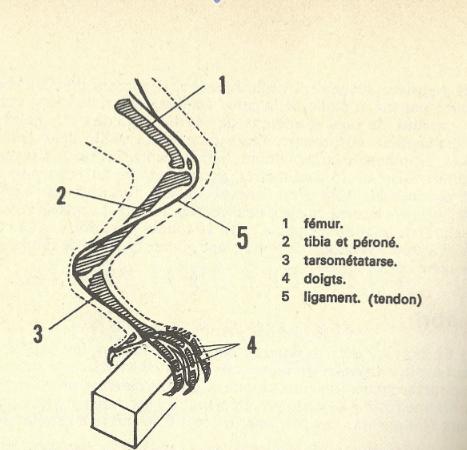 Position d'une patte de poulet sur perchoir
