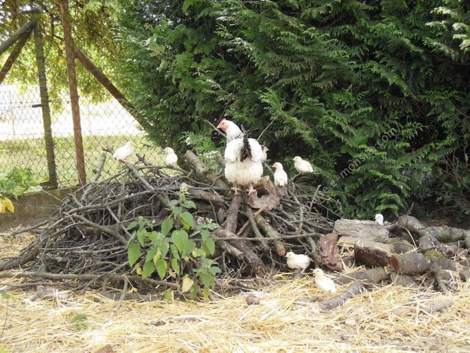 Poule bourbonnaise et ses poussins perchés
