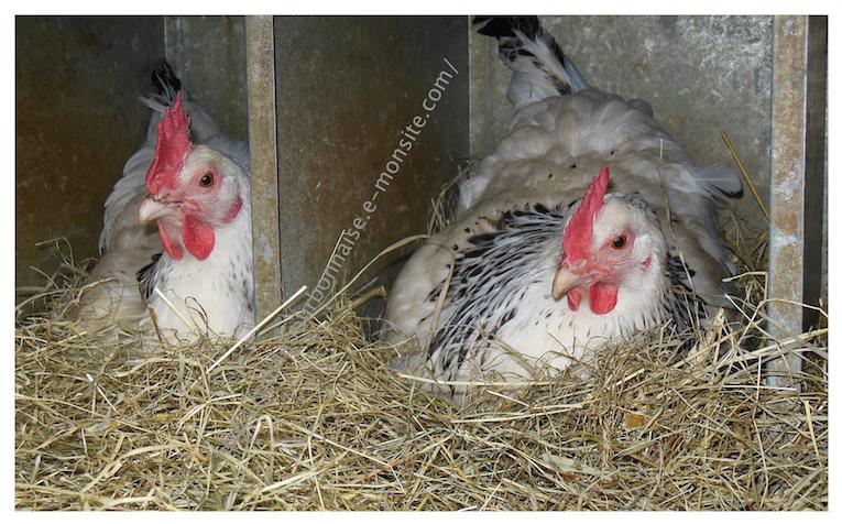 Poules bourbonnaises dans leur nid
