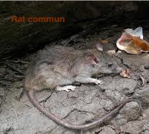 Rat commun