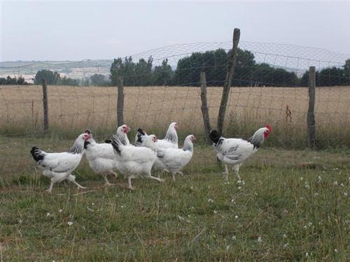 Volailles bourbonnaises en prairie