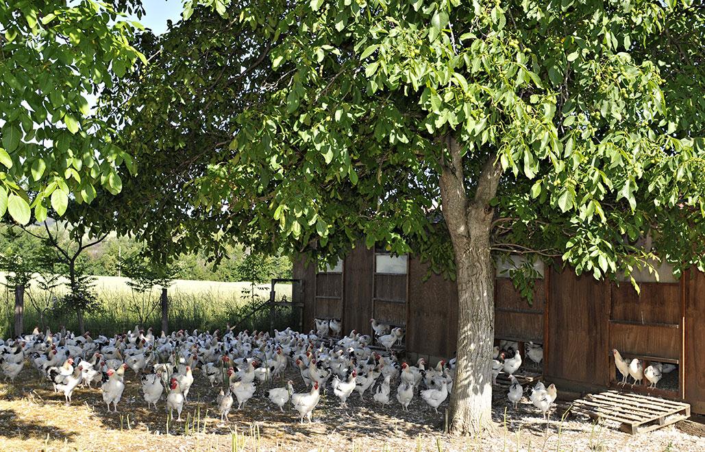 volailles-bourbonnaises-en-production-fermiere-2.jpg